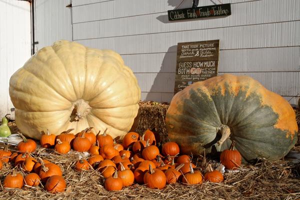 pumpkin600