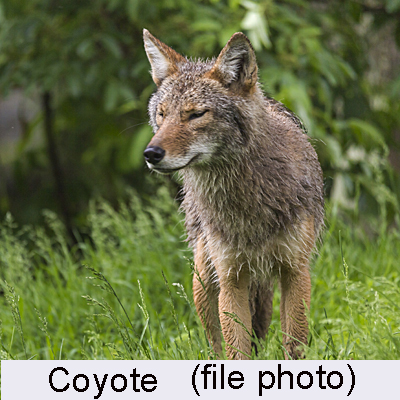 20150727 coyote 400 for web with caption