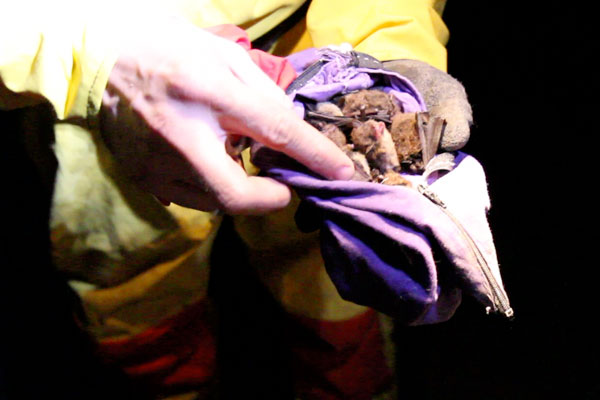 Bats are kept in cloth bags temporarily to keep them warm